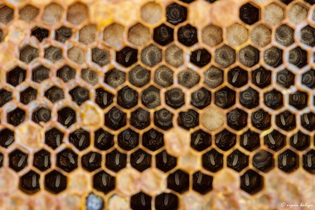 Honeybees And The Internet